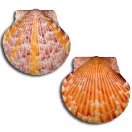 Calico Scallop